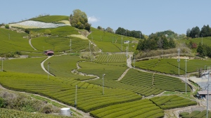 The lower altitude tea fields