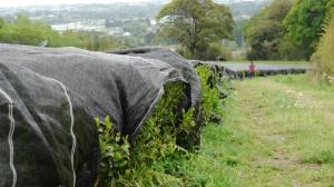 Shaded tea bushes ready for Matcha production